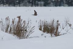 Falco columbarius (kenta_sawada6469) Tags: bird birds nature winter japan aves wildlife snow merlin falconidae