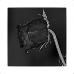 Rote Rose (efgepe) Tags: 2018 april garten lightroomsigma70mm macro makro rose rot red bw sw schwarzweiss schwarzundweiss blackwhite silverefexpro photoshop nik square