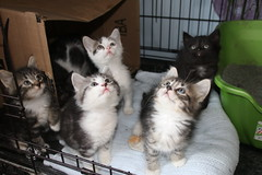318/365/3605 (April 25, 2018) - It's Kitten Season! Cats and Kittens at Crafty Cat Rescue (Ann Arbor, Michigan) - Wednesday April 25th, 2018 (cseeman) Tags: cats pets craftycatrescue annarbor michigan shelter adoption catshelter catrescue caring animals kittens craftycatkittens2018 craftycatphotos04252018 2018project365coreys yeartenproject365coreys project365 p365cs042018 356project2018