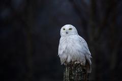 Snowy Owl wet from the rain (NicoleW0000) Tags: snowyowl owl bird birdofprey eyes wild wildlife woods ontario