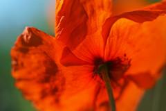 It makes everything glow. Sunlight. (Gudzwi) Tags: hbw red bokeh sonnenlicht sunlight mohn mohnblume poppy backlight backlit transparent rot 7dwf 7dwffridaysflora flora blume flower fridayflower blüte blossom leuchten glow macro makro macroorcloseup gegenlicht freitagsblümchen