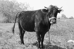 cow (Adrian Poe) Tags: cow monochrome blackandwhite bw sky grass trees canon1300d canonrebel animal plant