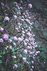 Bhutan: Primroses. (icarium.imagery) Tags: bhutan travel canoneos5dmarkiv captureone himalayas sigma100400mmf563dgoshsm nature primrose flowers primel primula sundaylights