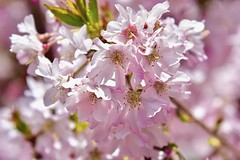 Its time for Cherry blossoms! (ineedathis, Everyday I get up, it's a great day!) Tags: cherryblossoms sakura prunusserrulata blossoms closeup blooms flowers nature spring garden pink petals yellow green branches nikond750 bokeh ornamentaltree tree