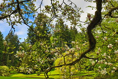 Canon EOS 5D Mark IV - 0C4A0930 (rogerbtree) Tags: gardens oldgrowth nature wildlife flowers waterfeatures ponds trees hdrimagery reflections spring bainbridgeisland canon canon5dmkiv pacificnorthwest