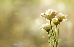 Good morning sunshine ;o) (Elisafox22) Tags: elisafox22 sony ilca77m2 100mmf28 macro macrolens telemacro lens daisy daisies white sunshine bokeh texture textured elisaliddell©2018