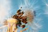 Escape (Jenne Barneveld) Tags: flower seed escape macro macrophotography nature naturefotografy bokeh flowers dandelion dandelionseed closeup