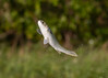 Come Fly With Me (PeterBrannon) Tags: mullet fish jumping fishinflight florida fortdesoto