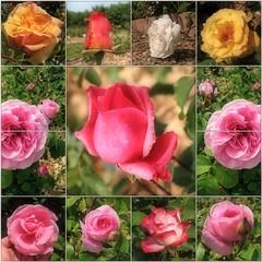 (Tölgyesi Kata) Tags: rosen rosa rose rózsa rózsakert rosegarden tuzsonjánosbotanikuskert botanikuskert botanicalgarden withcanonpowershota620 mosaic mozaik spring flower rosier blossom tavasz fleur virág nyíregyháza collage