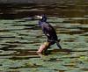 comorant (Rourkeor) Tags: culzean ayrshire scotland unitedkingdom gb bird perched log pond water reflections lilies olympus omd em1mk2 12100mmpro mft nature