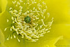 Engelmann's Prickly Pear Cactus Flower (Ray Chiarello) Tags: pricklypear cactus flower engelmanns flor yellow pistil stamen canon5dmarkiii macro canonef100mmf28macrousm