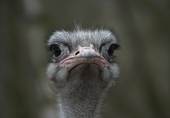 Angry bird (eric zijn fotoos) Tags: bird animal vogel dier holland noordholland nederland thenetherlands headstudy kopstudie head hoofd portret portrait sonyrx10m3 nature natuur fauna