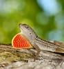 Anolis sagrei (BilllyRubin) Tags: anolis lizard sagrei reptil makro panasonicgh5 gh5 florida miami usa bahamas cuba eidechse sun sunny stativ diffusor diffuser softbox light flash godox strobe closeup extreme