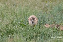 Male Burrowing Owl