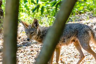 Coyote Mamma-7674