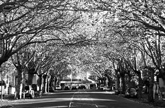 20 may 2018 - photo a day (slava eremin) Tags: dailyphoto 365 1day photoaday bw blackandwhite monochrome blanconegro bianconero auckland franklinroad trees alley