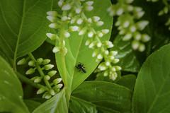 Sweetspire With A Lady Bug Larvae (Modkuse) Tags: sweetspire littlehenry flower flowers insects ladybug larvae bug insect nikon nikondslr nikond700 105mmf28nikkormacro nikon105mmf28macronikkor macro macrophotography macrolens nikonmacro macroflowers macroinsects