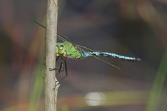 Anax Imperator - Female (Visual Stripes) Tags: tamronaf7030mmf456dildtelephotomacrolens canoneos7d handheld nois dragonfly odonata insect invertebrate bokeh