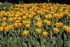 Orange Tulips (rumerbob) Tags: tulip tulipsorange longwoodgardens flower floral flowergarden fauna botany botanicalgardens botanical nature naturewatcher naturephotography canon7dmarkii canonef247028liiusm