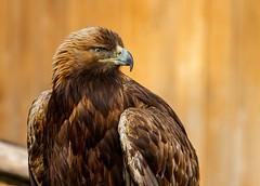 Golden Eagle (Karen_Chappell) Tags: bird eagle nature brown animal usa travel utah saltlakecity zoo aviary goldeneagle