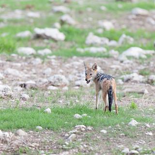 The black-backed jackal (Canis mesomelas).