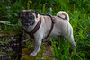 DSC00080 (ZoRRaW photography) Tags: pug dog