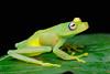 Boana (Hypsiboas) cinerascens (cheloderus) Tags: frog ecuador blue eyes tree