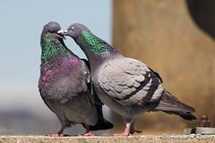 rock pigeon romance