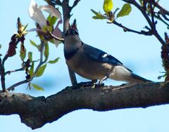 DSC_4215A (Grudnick) Tags: birds nikon d70 nef raw cyanocitta cristata cyanocittacristata
