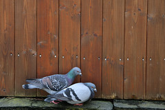 Pigeon Pair (Rick & Bart) Tags: goslar germany deutschland niedersachsen city urban rickvink rickbart canon eos70d historic architecture unescoworldheritagesite street streetphotography pigeon bird