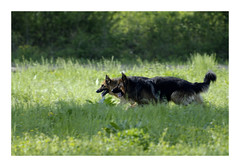 Action... (db_copyright photography) Tags: pontàmousson billebaude course jeux nature dog bergerallemand chien