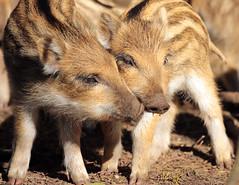 Wild boar Apenheul BB2A9165 (j.a.kok) Tags: zwijn everzwijn wildzwijn boar wildboar babyboar babypig babyzwijn big piglet bergendal apenheul