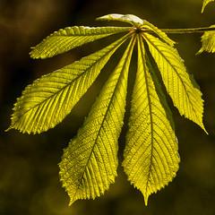 Chestnut Leaves (L I C H T B I L D E R) Tags: frühling spring blatt leaf tree baum kastanie germany cologne köln stadtwald natur nature green grün chestnut makro leaves blätter