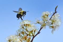 Cleared for Landing (NaturalLight) Tags: bumblebee landing wildplum blossoms chisholmcreekpark wichita kansas inflight