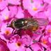 Nasen-Schwebfliege - Rhingia campestris (Syrphidae)