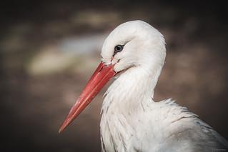 Stork - Wildpark Pforzheim