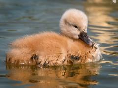 Baby swan (Sergio '75) Tags: birds wildlife lagoon animals cygnet swan cygnusolor cigno nature natura natur naturaleza naturallight natural naturephotograph naturephotography water canon canoneos70d sigma150600mmf563dgoshsmc