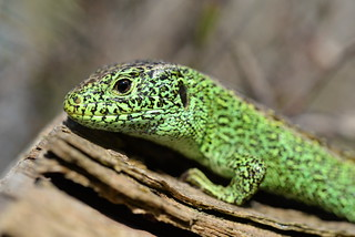 Male Sand Lizard (Lacerta agilis)