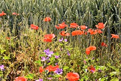 Wildflowers. (pstone646) Tags: poppies flora flowers crops red purple green margins kent nature field