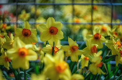 daffodils against the fence (kderricotte) Tags: hff happyfencefriday daffodil bokeh depthoffield flower spring sony sonya7ii helios helios44m458mmf2 vintagelens ilce7m2