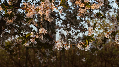 14.04.2018 (Fregoli Cotard) Tags: flowers blossom cherry blossomtrees cherryblossom garden sunset sunsetray beautifullight beautifulsunset mycountrysidetonic dailyjournal dailyphotography dailyproject dailyphoto dailyphotograph dailychallenge everyday everydayphoto everydayphotography everydayjournal aphotoeveryday 365everyday 365daily 365 365dailyproject 365dailyphoto 365dailyphotography 365project 365photoproject 365photography 365photos 365photochallenge 365challenge photodiary photojournal photographicaljournal visualjournal visualdiary 104365 104of365