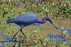 Little Blue Heron (Wonder Woman !) Tags: littleblueheron egrettacaerulea circlebbarreserve lakelandflorida bird heron swamp marsh ngc usa