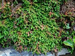 Echtes Drehmoos - Funaria hygrometrica, NGID2142174114 (naturgucker.de) Tags: ngid2142174114 naturguckerde wetteranzeigendesdrehmoos funariahygrometrica 649561984 2128523129 1692859629 chorstschlüter