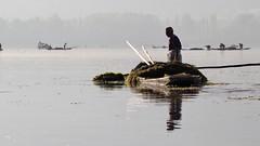 Man picks weed (Nagarjun) Tags: dallake weeds manure boats boatmen srinagar kashmir jk light dawn sunrise