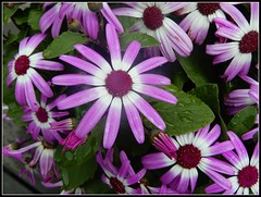 Purple Daisies  - Photo by STEVEN CHATEAUNEUF - April 29, 2018 (snc145) Tags: spring seasons nature flowers leaves plant outdoor daisies photo purple green stevenchateauneuf april292018 flickrunitedaward vividstriking