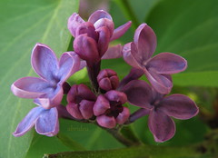 Lilac Macro (abrideu) Tags: abrideu canon lilac flower flowers macro depthoffield ngc npc