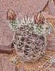 CAE013019a (jerryoldenettel) Tags: 180326 2018 blackcanyon cactaceae caryophyllales cereusfendleri coreeudicots echinocereus echinocereusfendleri echinocereushempelii echinocereuskuenzleri echinocereusrectispinus fendlerneedlespinehedgehog fendlershedgehog fendlershedgehogcactus kuenzlerhedgehog kuenzlerscactus nm socorroco wildflower cactus flower hedgehog