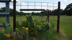 Iron and spikes (Francoise100) Tags: texas cacti flowers yellow field fence