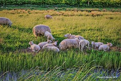 Sheep & Groninger Landschap,Groningen  ,the Netherlands,Europe (Aheroy) Tags: sheep aheroy aheroyal landschap landscape groningerlandschap green groen gras grass sloot ditch dieren platteland lammetjes rural tonemapped lamb schapen colours kleuren lente voorjaar spring printemps primavera frühling