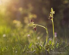 ARGI ESKE (Obikani) Tags: ophrys sphegodes orchid orquídea flower light macro nature wild álava araba euskadi canonikos